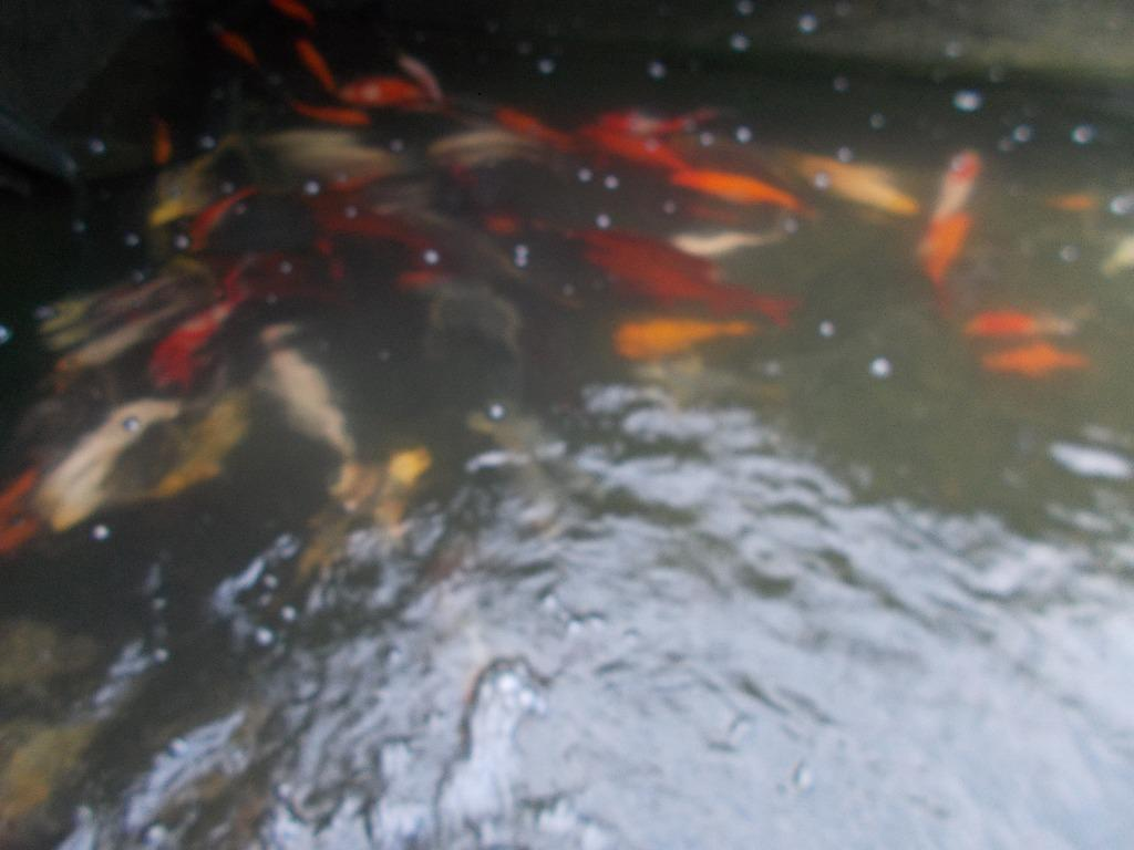 Goldfish Small To Xxl All Colors Ghost Koi And Butterfly