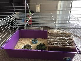 2 male Guinea Pigs to be rehomed