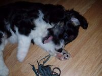 Colliepoo Puppies for sale Collie x Toy Poodle Colliedoodle
