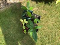 Aucuba japonica plants Ideal for tubs or garden borders evergreen with red berries . £3 each .