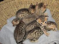 Bengal kitten Male and females