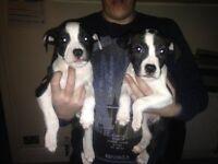 2 chuncky pups bitchies