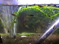 unsorted small fishes: guppies, mollies, platties, swordtail fishes