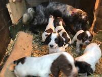 Cocker x Springer puppies