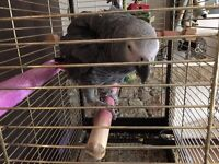 African Grey Parrot Female Good talker excellent Feather