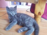 Maine Coon Kittens (3 Females & 1 Male)