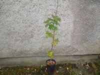 6 English oak trees 1 metre tall