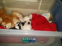 TEACUP SIZE CHIHUAHUA PUPPIES