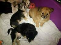Gorgeous Yorkshire Terrier X Chihuahua Puppies