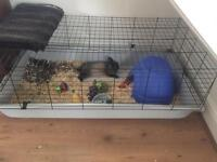 Dwarf rabbit and cage