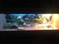 2 bearded dragons and full vivarium setup