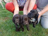 Cocker spaniel puppys