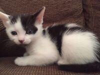 Last one beautiful white female kitten left