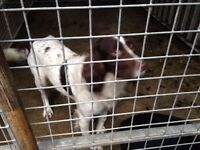 Springer Spaniel looking for a good home