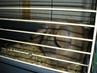 lop ear male rabbit