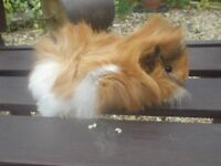 2 longhaired baby guinea pigs for sale