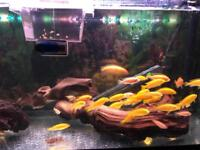Mature Aquarium fully stocked with cichlids