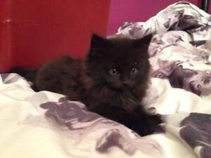 My Beautiful Black ragdoll x persian kittens [ 1 GIRL] LEFT ONLY Geelong Geelong City Preview