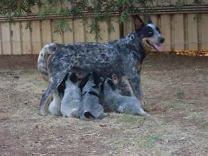 Blue Cattle Dog Pups Narromine Narromine Area Preview