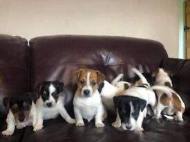 9 purebred jack Russell puppies for sale