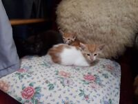 kittens for sale mix of colours 5 weeks old