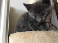 Absolutely gorgeous grey girl kitten