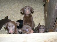 Lab/Retriever Mix Puppies for Sale