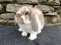 Handsome fawn butterfly mini lop Buck for sale