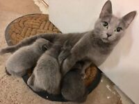 Russian Blue/Korat kittens for sale