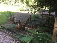 Chickens for sale( Rhode Island Red hybrid egg layers)