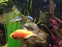 Tropical Fish: Cichlids / Malawi - Free