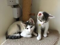 2 beautiful & playful female kittens for sale - READY NOW- 2 * white & tabby - 10 weeks old