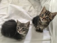 Four beautiful kittens for sale (white, blue)