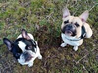 Pair French Bulldogs