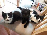 3 Girl Kittens for sale