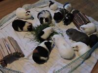 Élevage de cochons d'inde teddy/péruvien/shelty/Américain