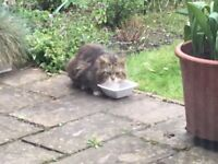 FOUND - long haired tabby cat, Eaton Rise.