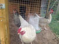 3 young chickens for sale