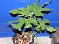 5 Garden Plants incl Fig, Yucca, Echiam, Weymouth Free local delivery