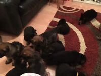 KC Registered GSD Puppies for sale