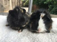 Pair Of Gorgeous Baby Boars Available