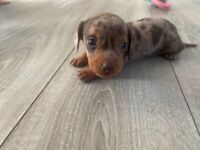 1 LEFT Miniature dachshunds puppy for sale