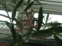 BIG oleander plant, covered in buds 40 inches