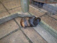4 male teddie guinea pigs