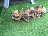 Pomeranian Puppies for sale all Males £450 1 left