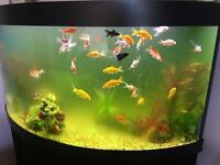 Gold fish and fantail fish for sale