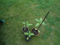 Plant for sale- A sunflower plant for 50 pence each