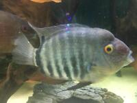 "heros sp santarem (Severum) 7"" by 3"""