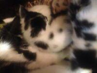 cute kittens Ready Now