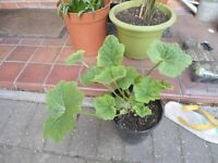 Hollyhock plants in a 18 cm plastic pot